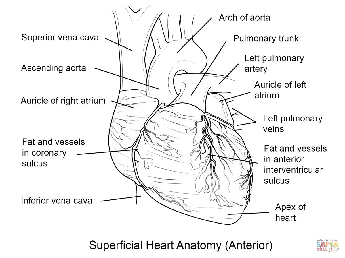 Human Heart Coloring Page | Free Printable Coloring Pages - Coloring - Free Anatomy Coloring Pages Printable