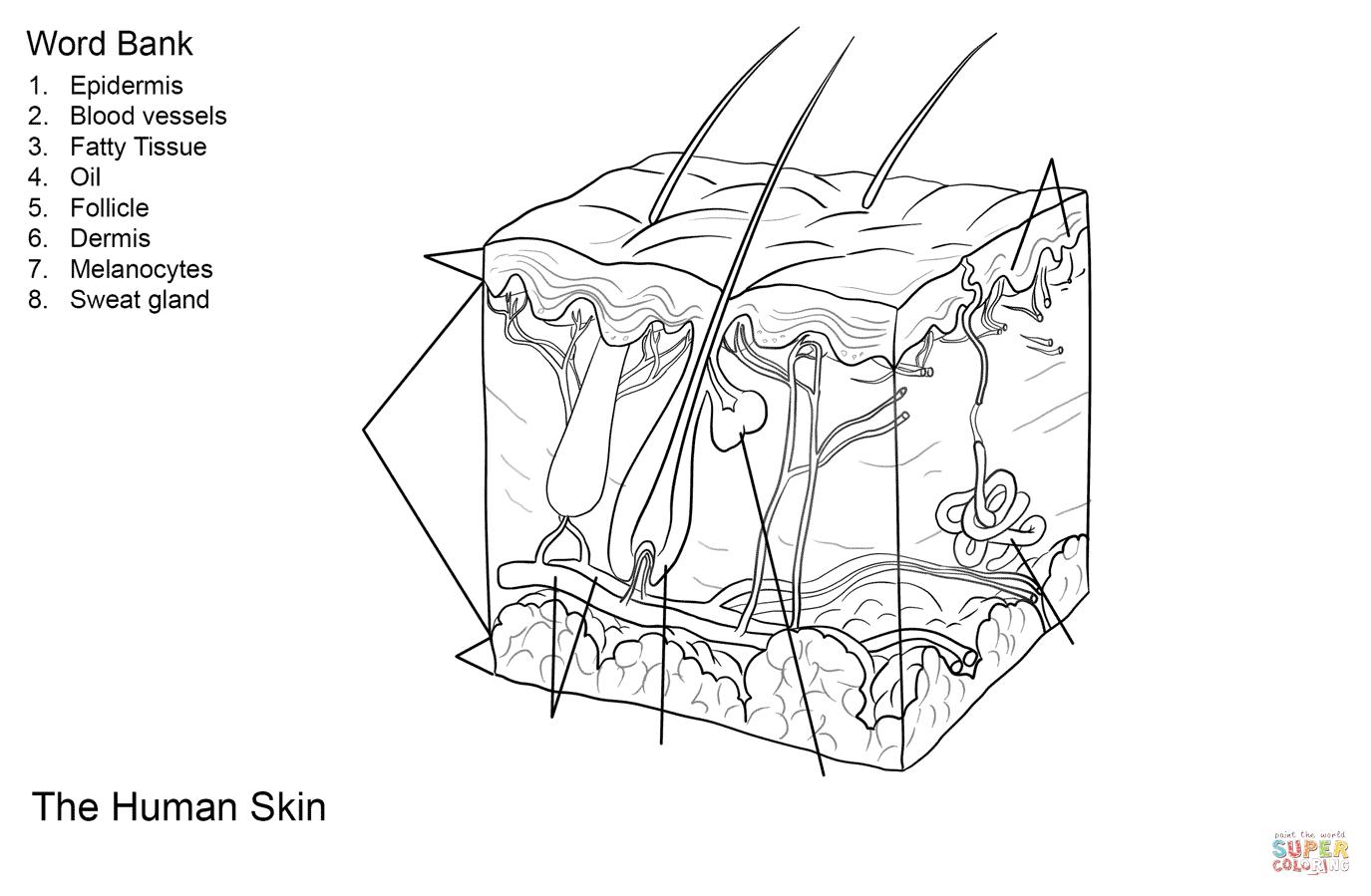 Human Skin Anatomy Worksheet Coloring Page   Free Printable Coloring - Free Printable Anatomy Pictures