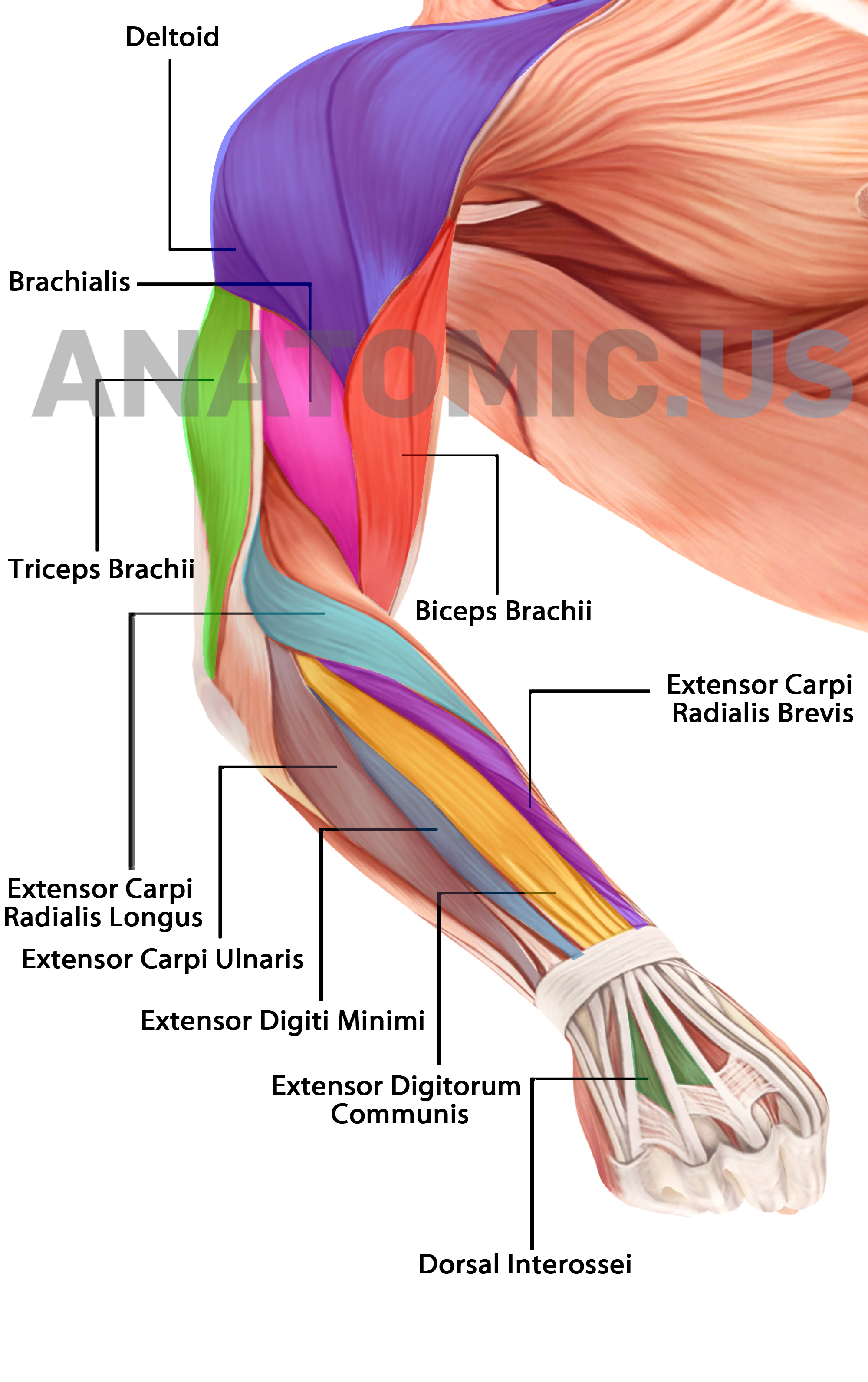 Muscular System - Anatomy Flashcards - Anatomic Muscles Of Face - Free Printable Muscle Flashcards