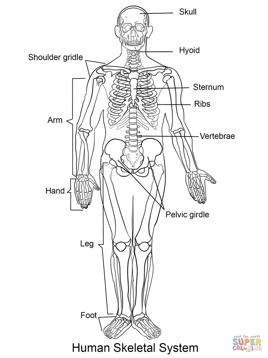 Human Skeleton Coloring Page   Free Printable Coloring Pages - Free Printable Skeleton Coloring Pages