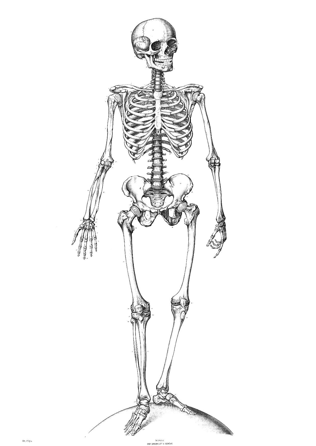 Skeleton Coloring Pages   All For The Kids!   Skeleton Drawings - Free Printable Skeleton Coloring Pages